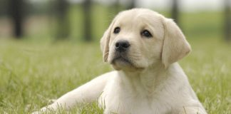 yellow labrador outside for potty training