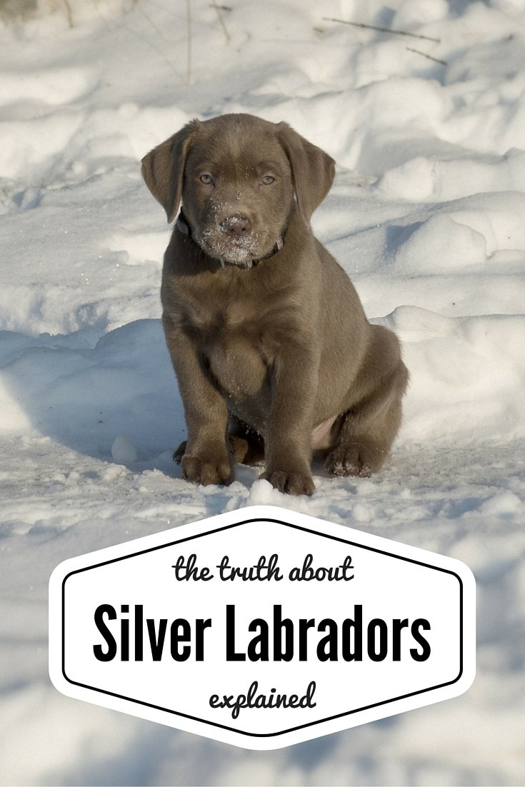 Labrador color inheritance with new puppy color charts silver labradors an unusual and controversial color pup nvjuhfo Images