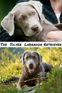 silver labs and the controversy that surrounds them