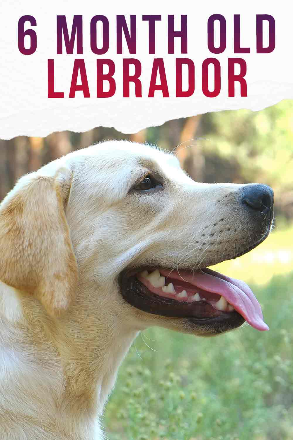 help and advice for 6 month old labradors