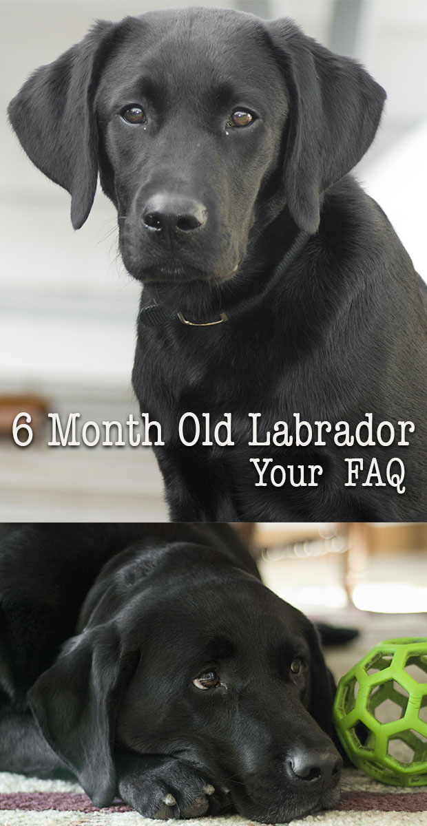 Spiksplinternieuw Six month Labrador - Your Puppy Questions Answered CQ-17