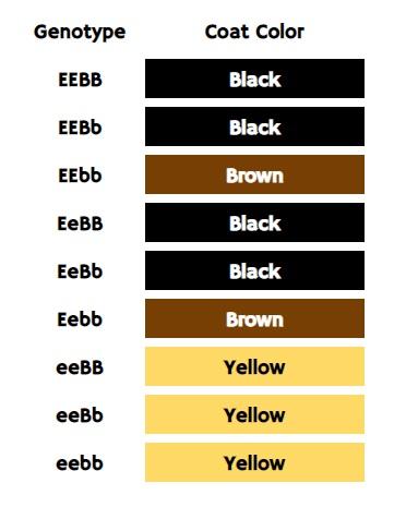 Labrador Colors - The Secrets of Labrador Color Inheritance