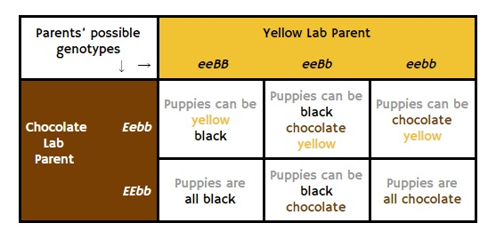 mating a chocolate and yellow lab