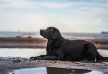 black labrador retriever lies on beach