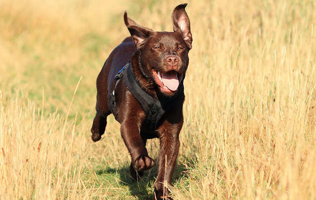 Gorgeous Charlie enjoying a run at six months of age - he also appears in our feature at the top of the page: by Julie T from Cornwall UK