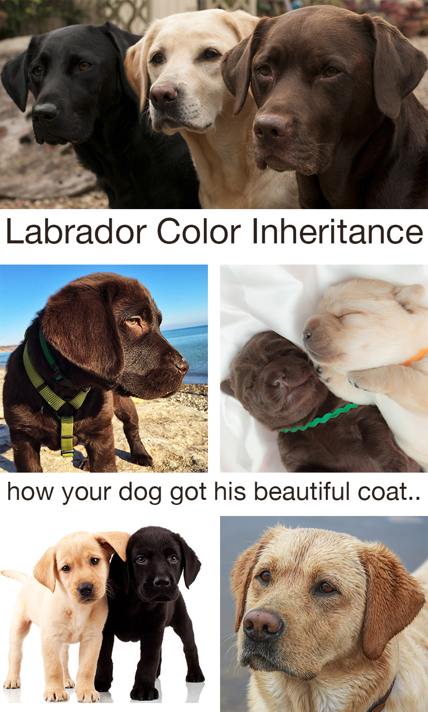 Labrador color inheritance with new puppy color charts find out how your lab got his coat color includes helpful charts to predict puppy nvjuhfo Images