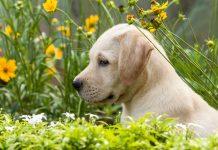 dog training methods for Labradors