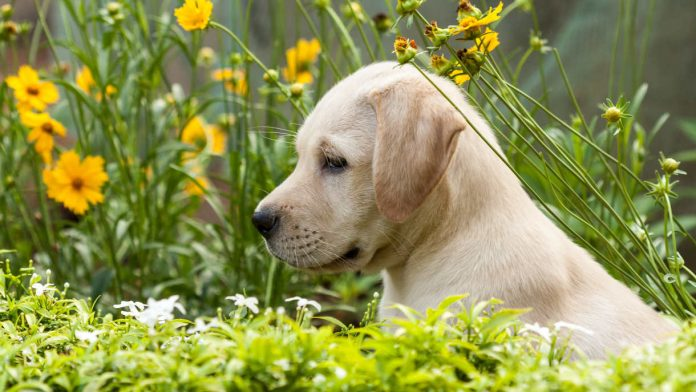 dog training methods for Labradors
