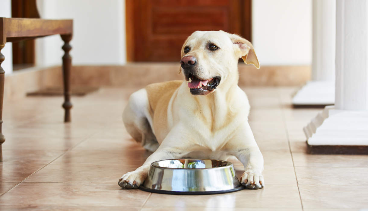 how much should my labrador drink