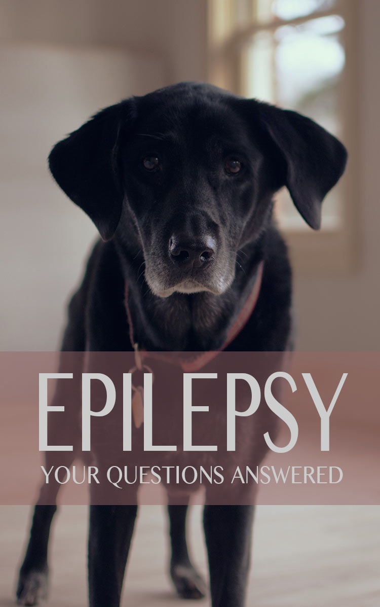 Epilepsy is a serious but usually treatable condition.  Here is information and comfort for those whose dogs have been diagnosed with this disease.