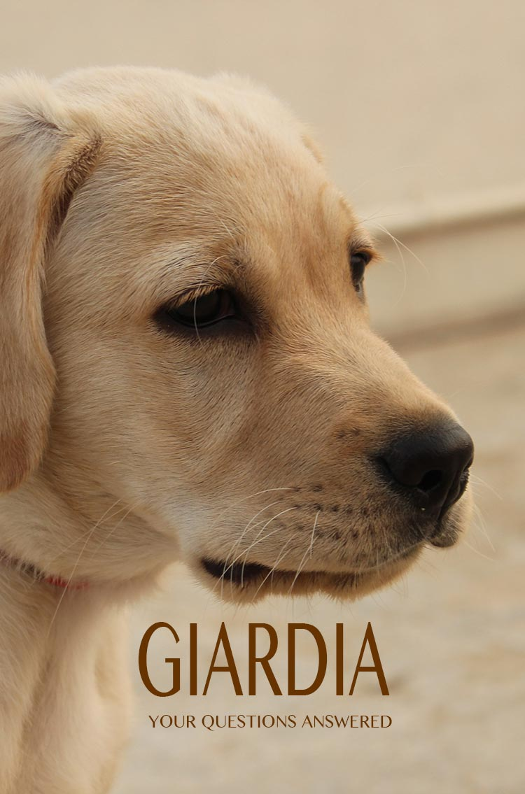 Giardia is an unpleasant 'bug' that can make dogs and people sick.  We answer your giardia questions here.