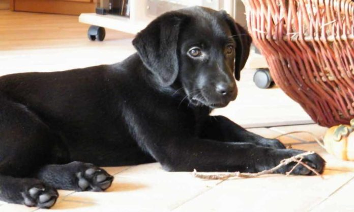 labrador puppy chewing