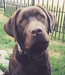 Like many young Labs, adorable six month old Myles loves everyone: by Ericka from the USA