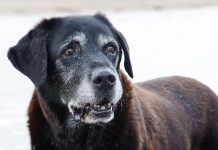 labrador lifespan - how long do labs live