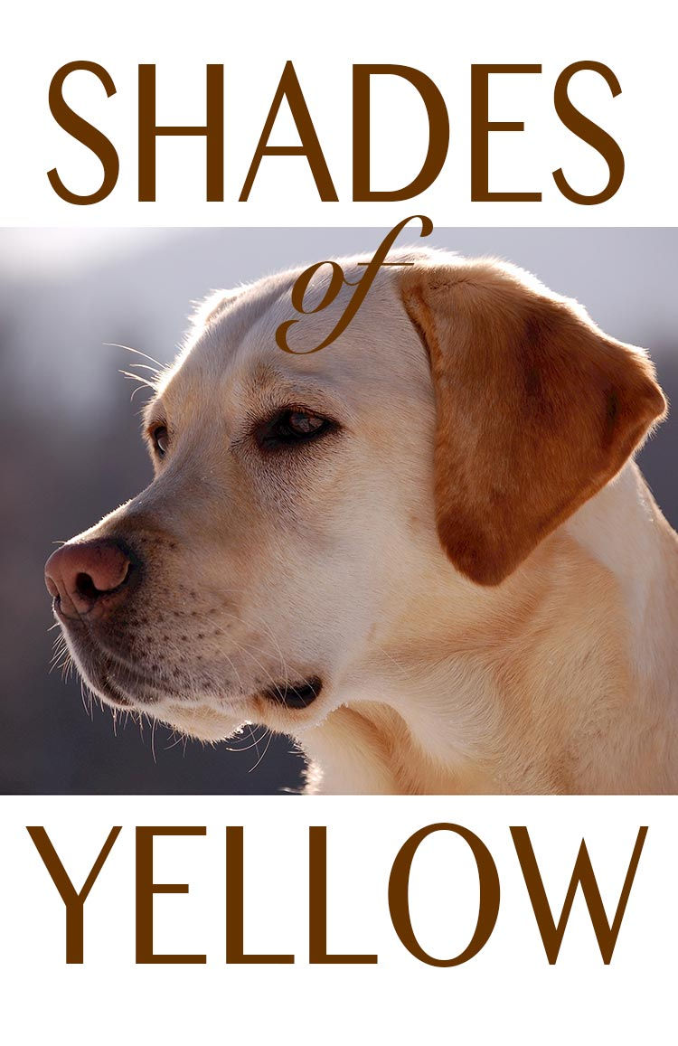 Enjoy the many beautiful shades of yellow Labrador Retriever