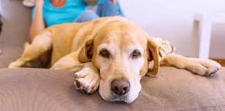 why do Labradors shed so much