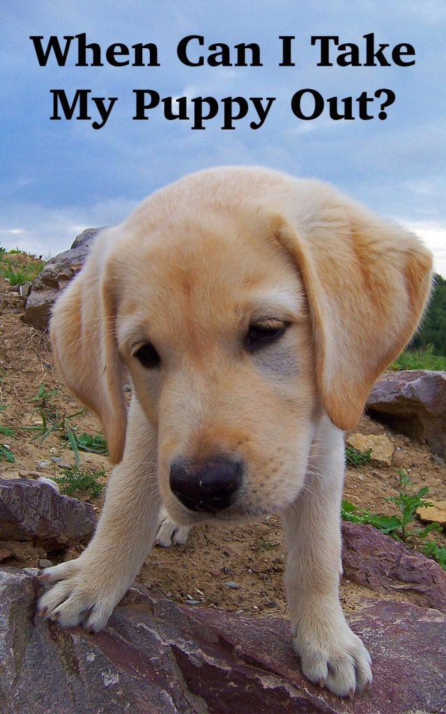 When can puppies go outside -Taking a puppy out for the first time is so exciting! But when is it safe to do so? This article helps you decide