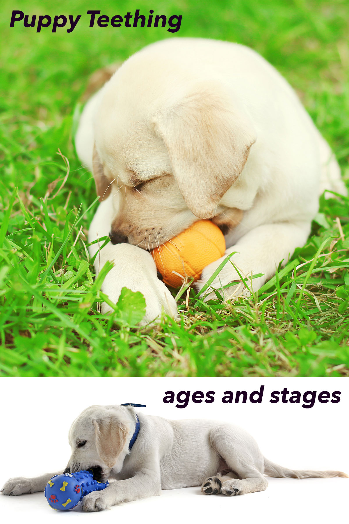 Everything you ever wanted to know about puppy teeth and teething