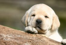 when can I take my Labrador puppy out
