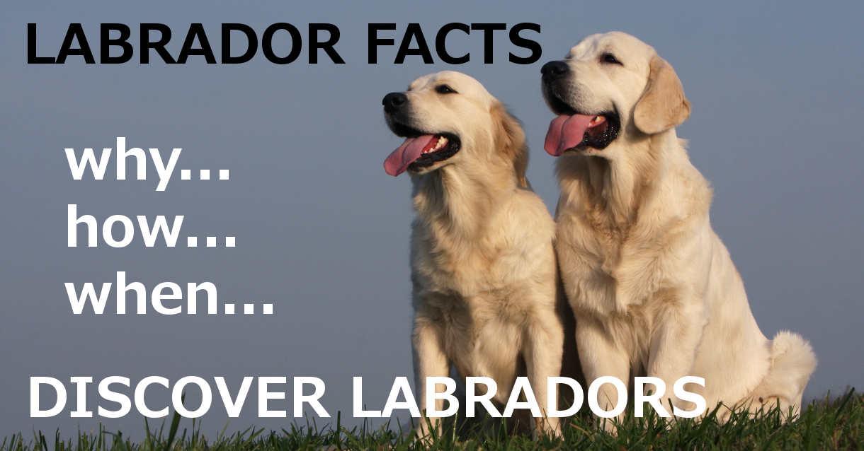 discover labradors