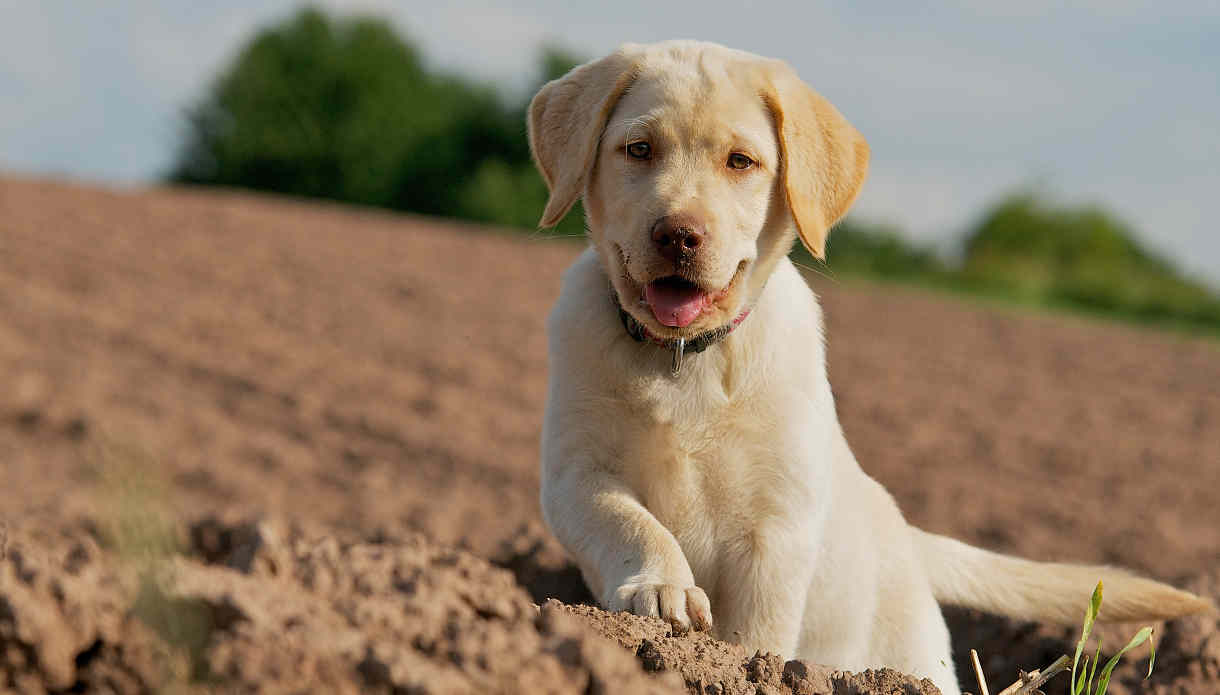 A Summary of Benefits to Crate Training Your Labrador