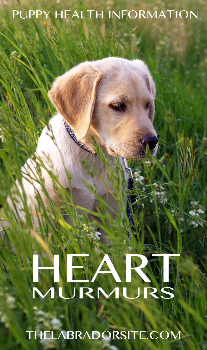 Find out about heart murmur in dogs, information and reassurance