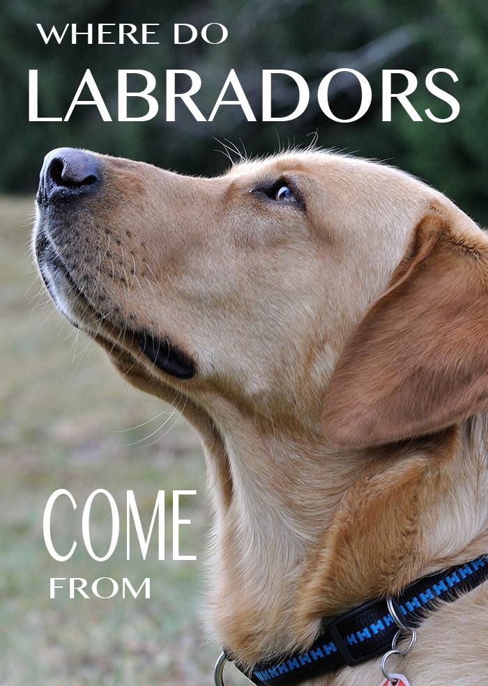 Discover the fascinating history and origins of the Labrador Retriever dog breed