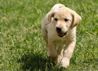train a puppy to come