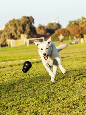 Indestructible dog toys - the kong extreme is one of the toughest chew toys
