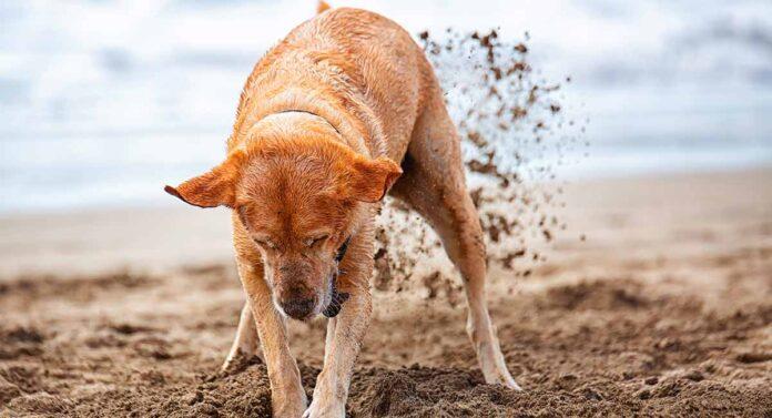 Labrador digging at the beach
