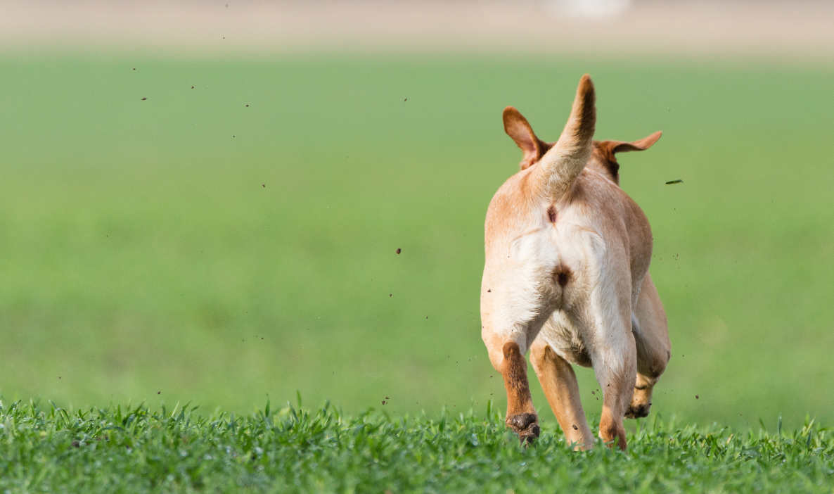 Why Do Some Dogs Run Away From Home