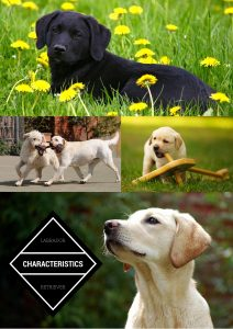 An honest assessment of Labrador Retriever characteristics and temperament