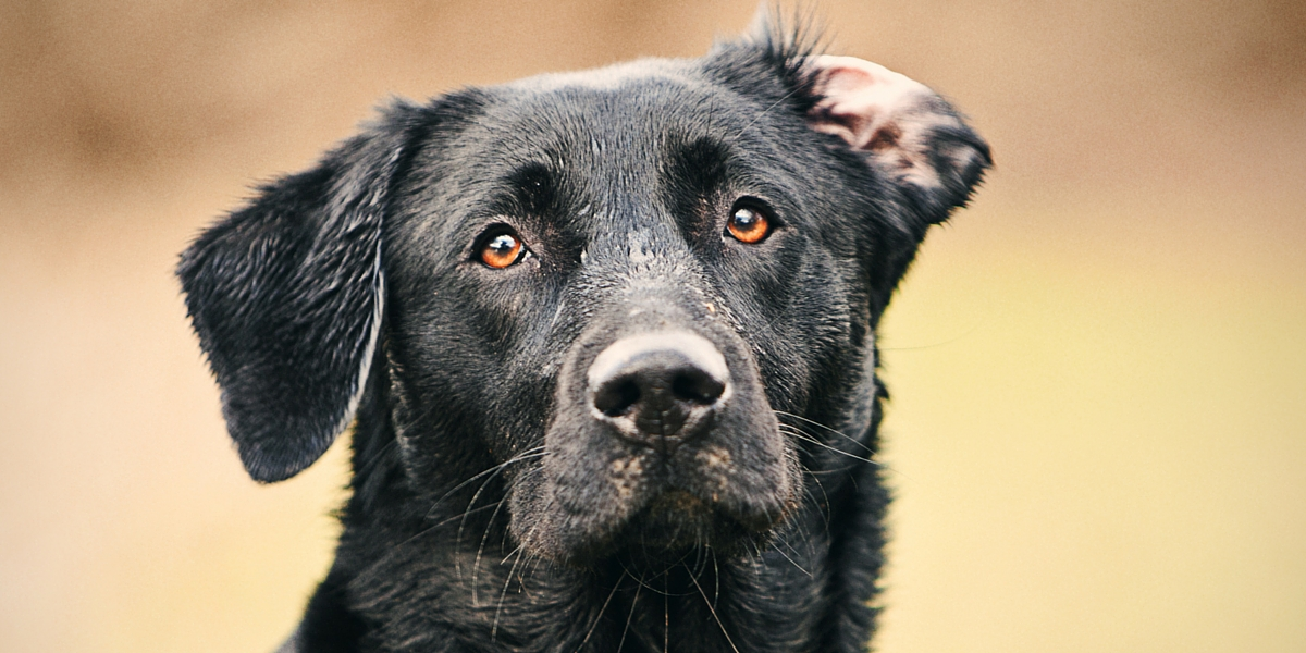How To Clean Your Labrador S Ears The Labrador Site
