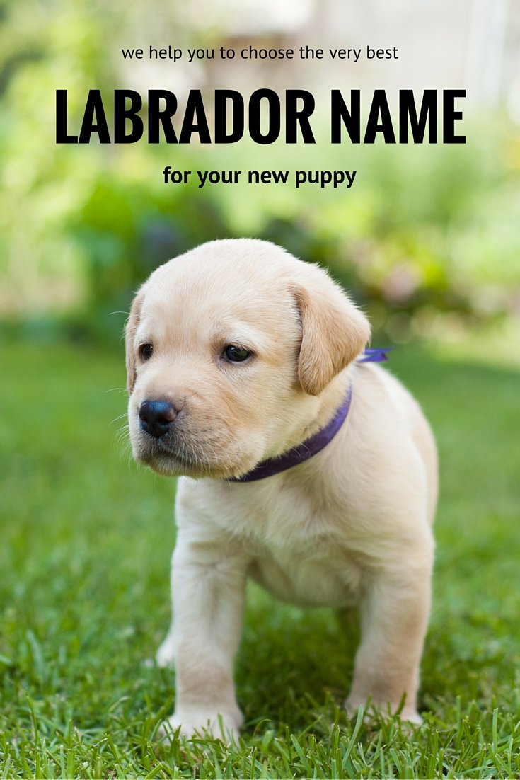 Best Dog Names For A Male Lab