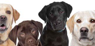 labrador breed standard