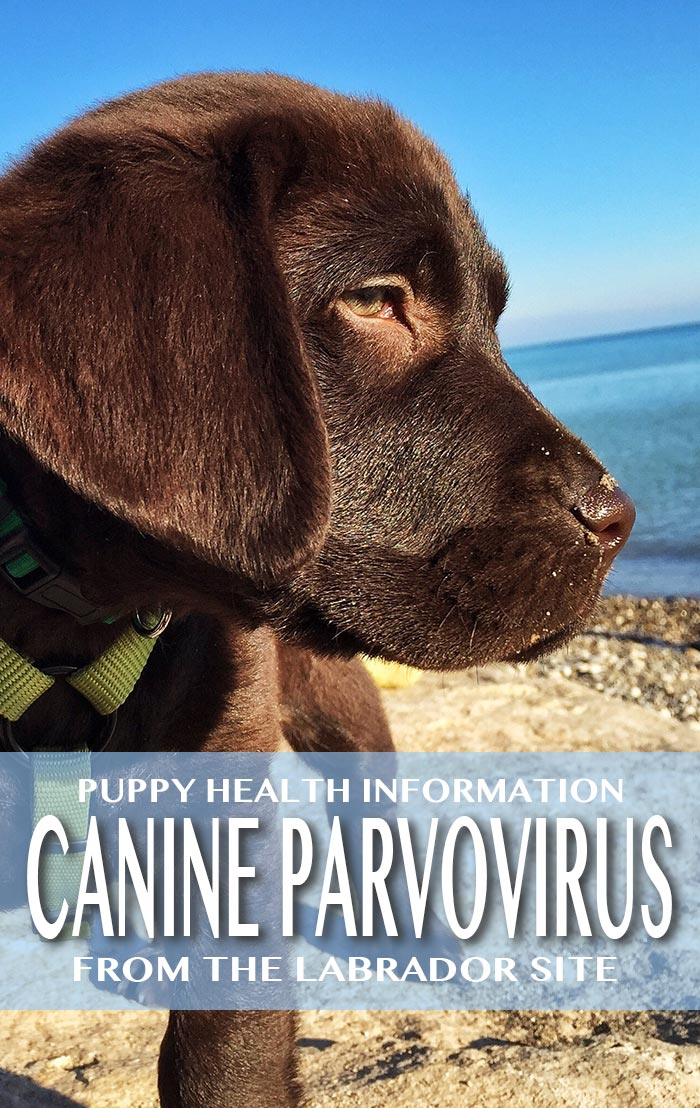canine parvovirus, how to protect your puppy