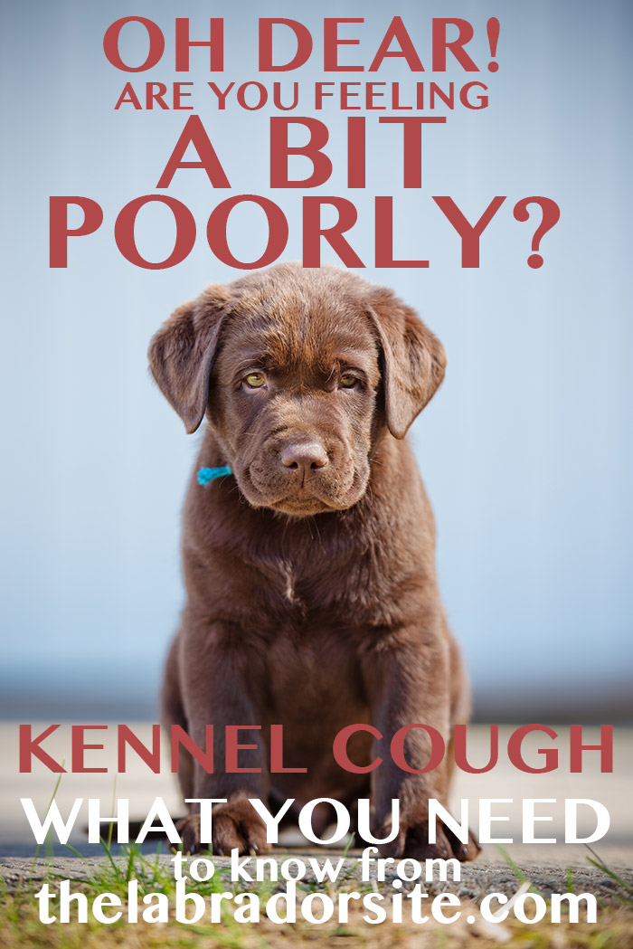 Kennel Cough In Labradors The Labrador Site