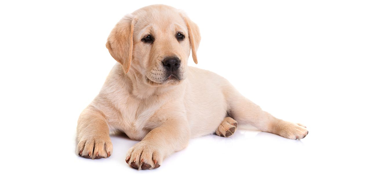 Purebred Lab Or Not How Can You Tell If Your Labrador Is Pure Bred