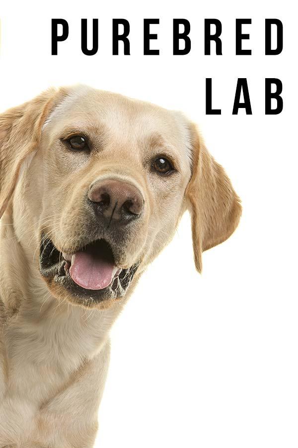 purebred lab