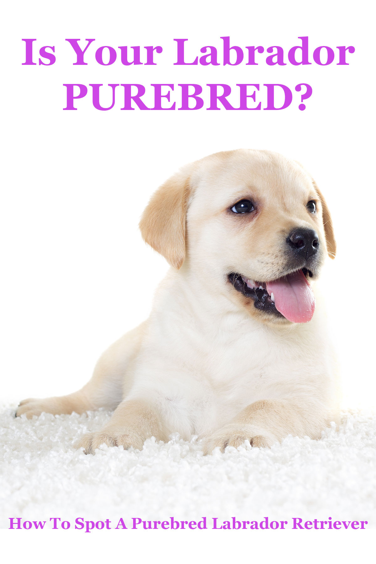 Is My Dog Purebred? - The Labrador Site