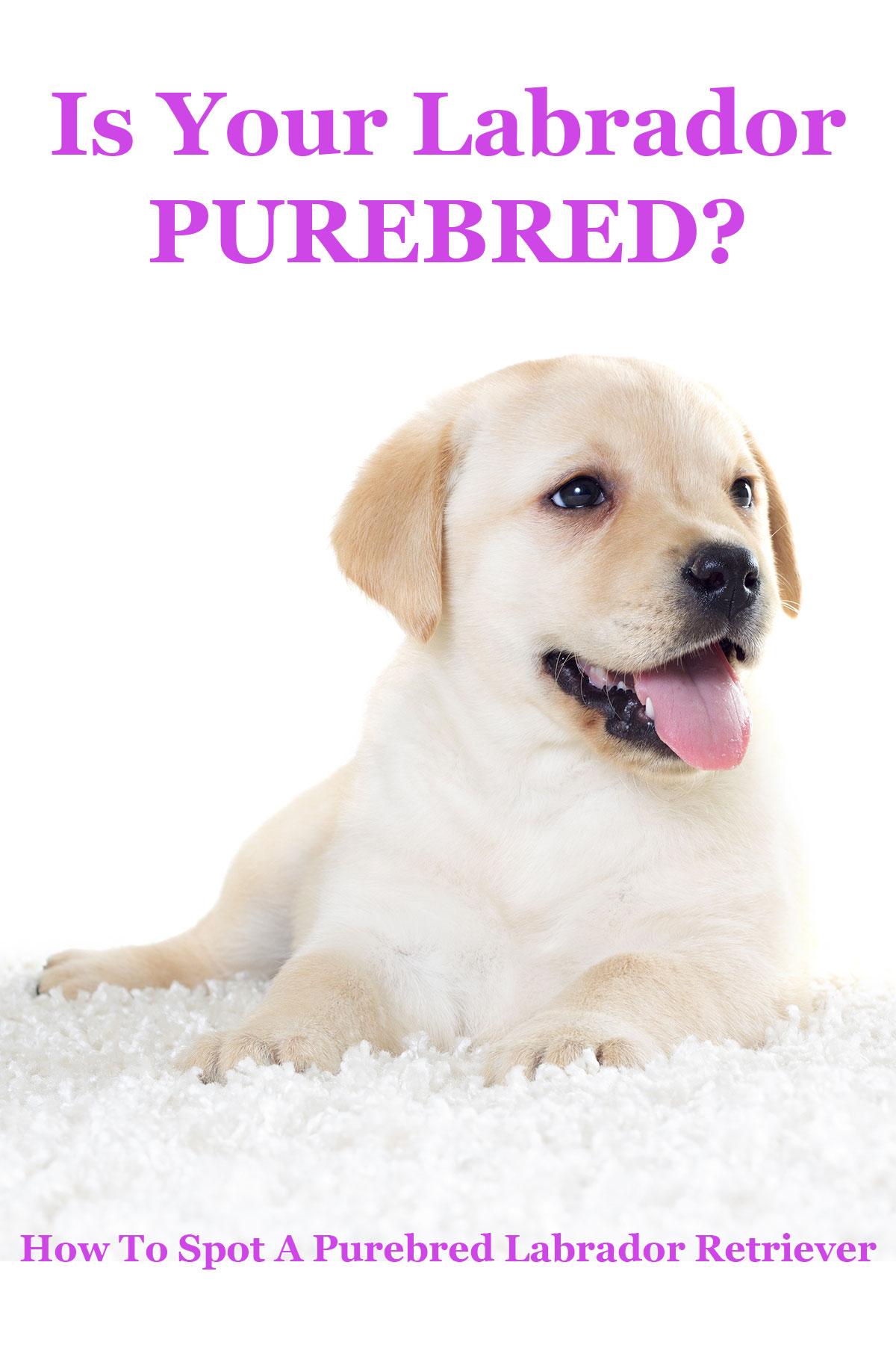 How to identify a purebred golden retriever