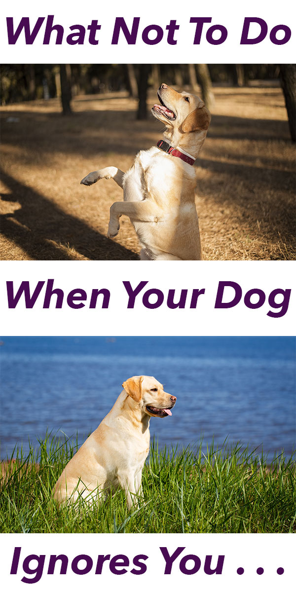 How To Correct A Dog That Ignores The Recall? - The Labrador