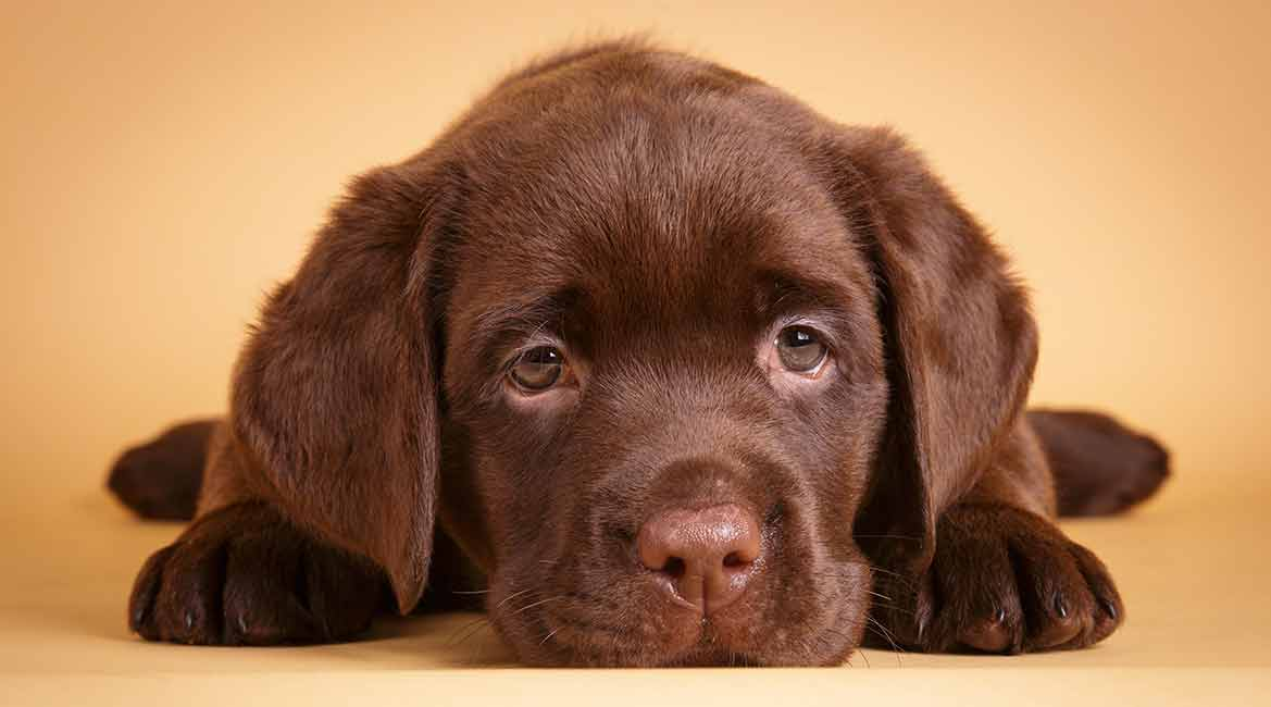 6 Things To Consider Before Buying A Labrador