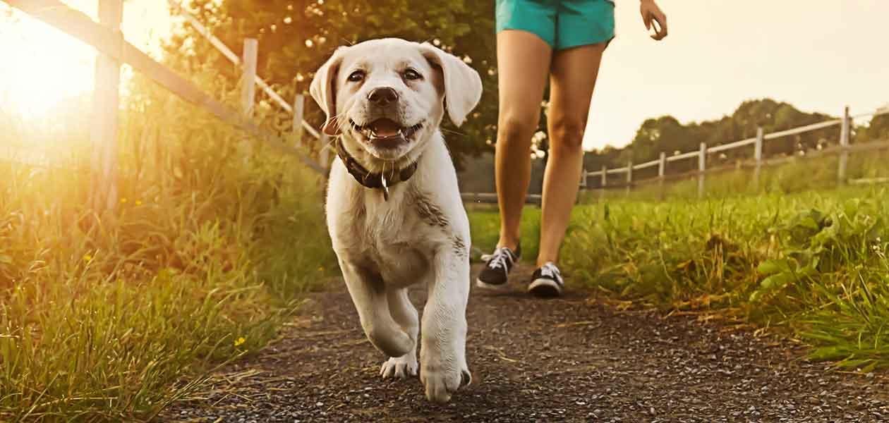 White Labradors Discover The Beautiful White Lab