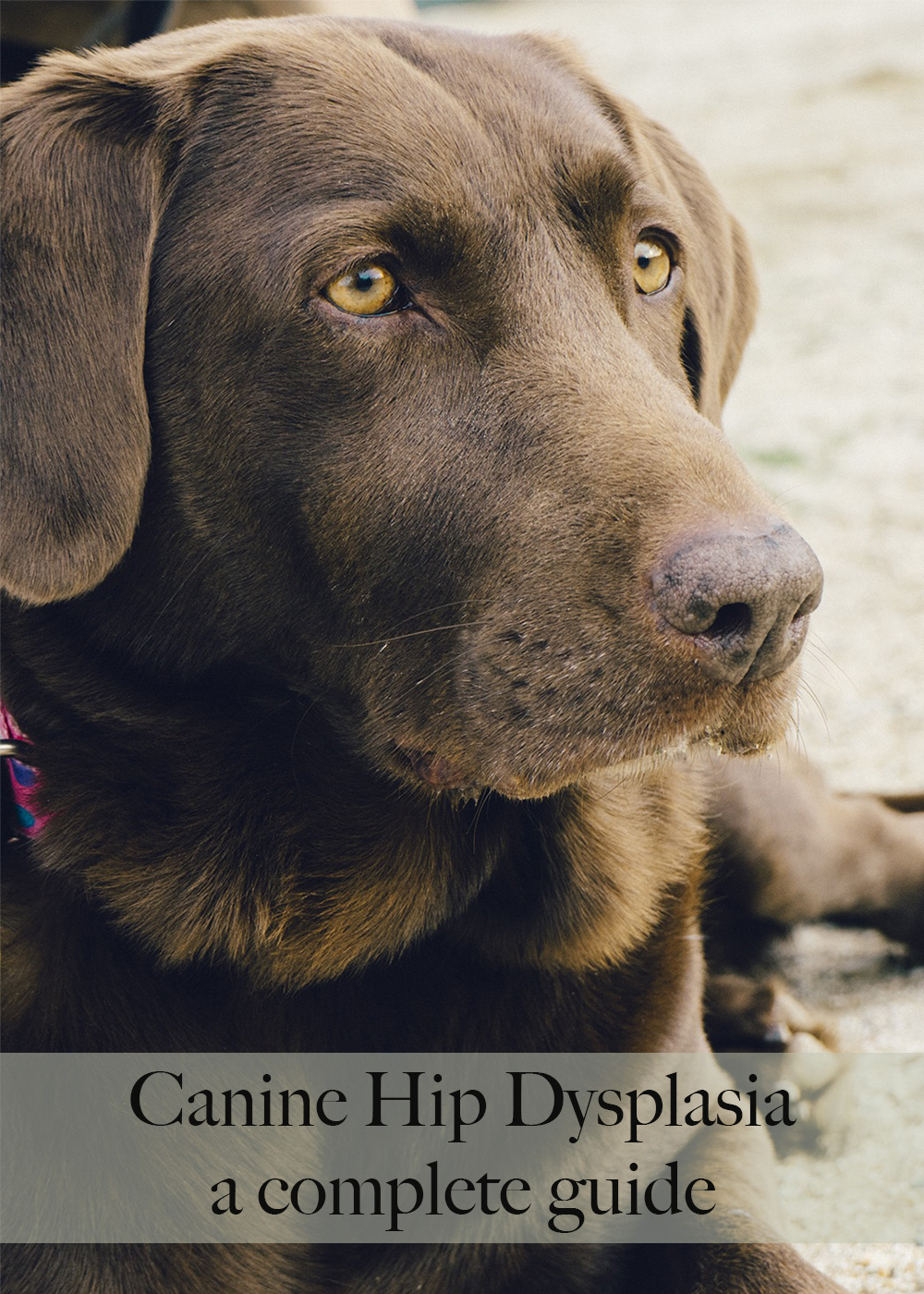 Hip Dysplasia In Dogs A Complete Guide For Labrador Owners The