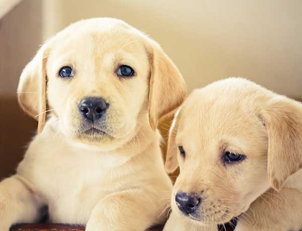 labrador dog price can vary from one lab puppy to another
