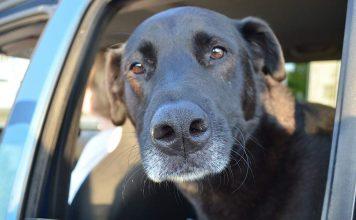 Labrador Travel Car Crates, Dog Dividers & Seat Belts - The