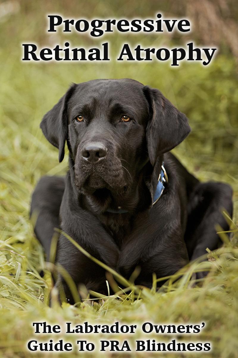 Pra Progressive Retinal Atrophy In Dogs The Labrador Site