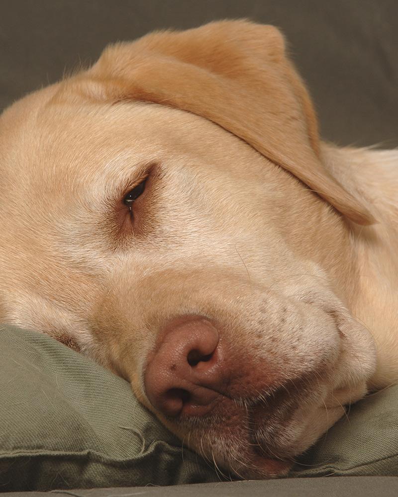 dudley Labrador