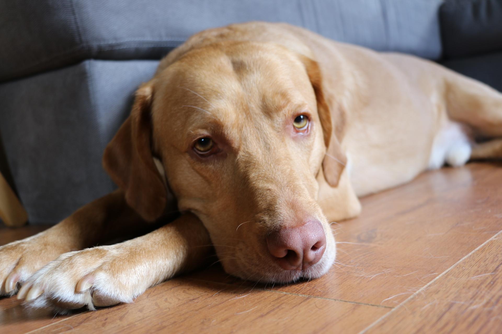 Dudley Lab - The Pink Nose Labrador - The Labrador Site